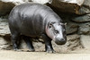 Pygmy Hippo Standing at an Angle by Eric Kilby