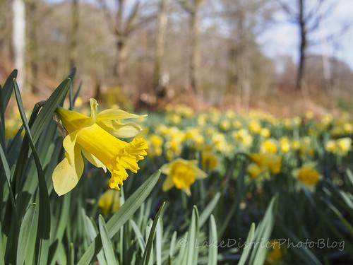 イギリス 水仙 花畑