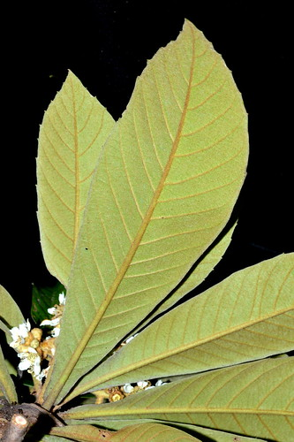 Eriobotrya japonica DSC_0636 (1)