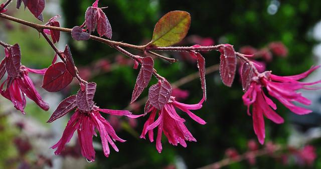Loropetalum chinensis var. rubrum 'Pizazz'