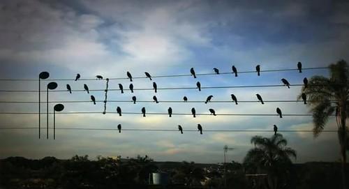 Birds on wires - video
