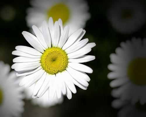 Daisy Daisy 2