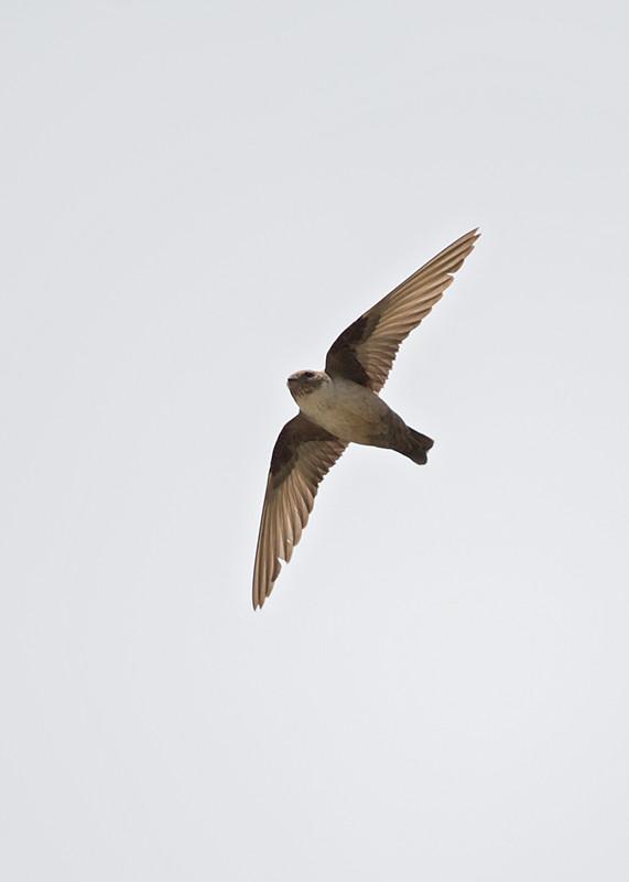 Pallid Swift 2014-05-21