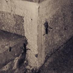 В Тбилиси огромные кузнечики (или сверчки?) - сантиметров 5-6 в длину и скачут на несколько метров.  #თბილისი #всюдужизнь #насекомые #insect