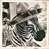 Festive Zebra