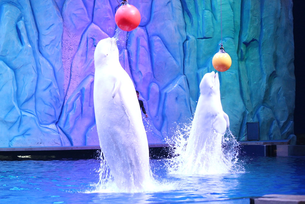 Beluga whales performance at Chimelong Ocean Kingdom, China April 2014