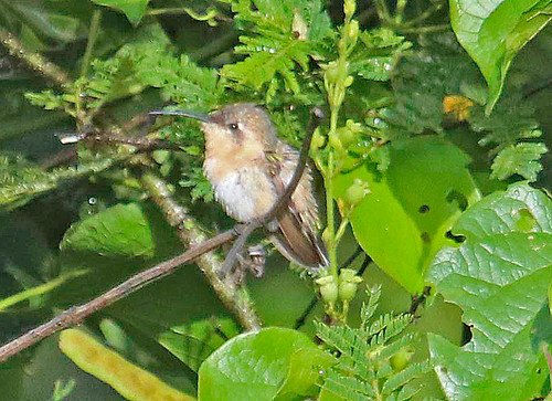 170228 2017 amethystthroatedsunangel apodiformes ecuador heliangelus heliangelusamethysticollis hummingbird myrmia myrmiamicrura shorttailedwoodstar trochilidae vilcabamba bird sunangel