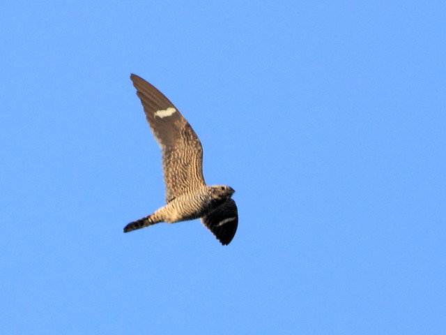 Common Nighthawk 2-20130519