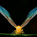 derbid planthopper by ProDigi