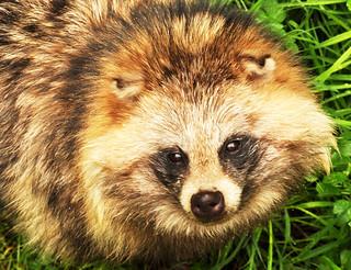 Wildtier Tierfotografie Naturfotografie Enok Marderhund