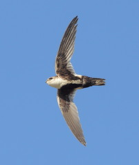 White throated Swift