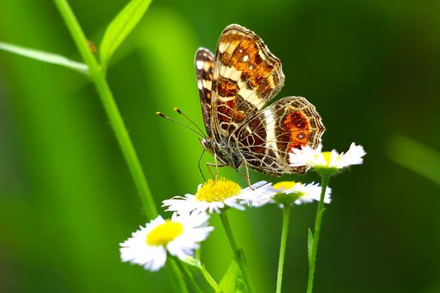 サカハチチョウ(タテハチョウ科)