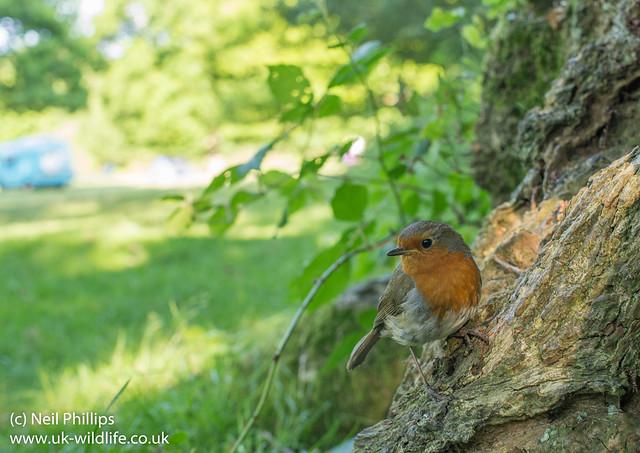 Robin wide angle Erithacus rubecula-4