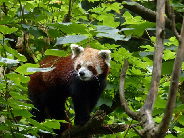 26-Pandabär Quincy