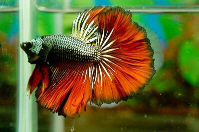 [IMG]  [Kinh nghiệm - Chia sẻ] Liều lượng và các loại thức ăn để nuôi cá betta. 9667732571 bd455a9d1b
