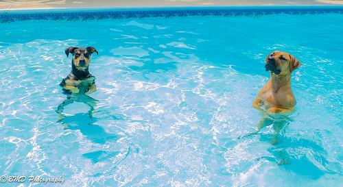 プールと犬