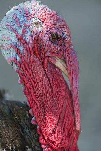 Ugly(?) turkey