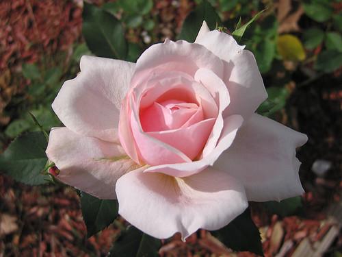 Birthday Rose. by Leenechan