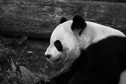 Giant Panda 02