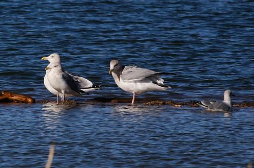 Herring Gulls on Land, Ring-billed Gull swimming
