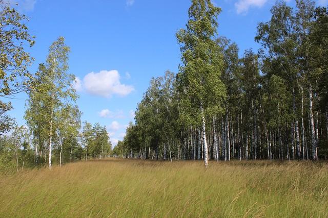 Molinia_grassland_Gromovo