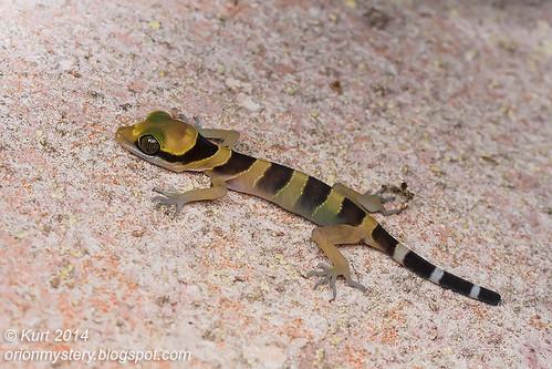 Cyrtodactylus bintangtinggi IMG_4777 copy