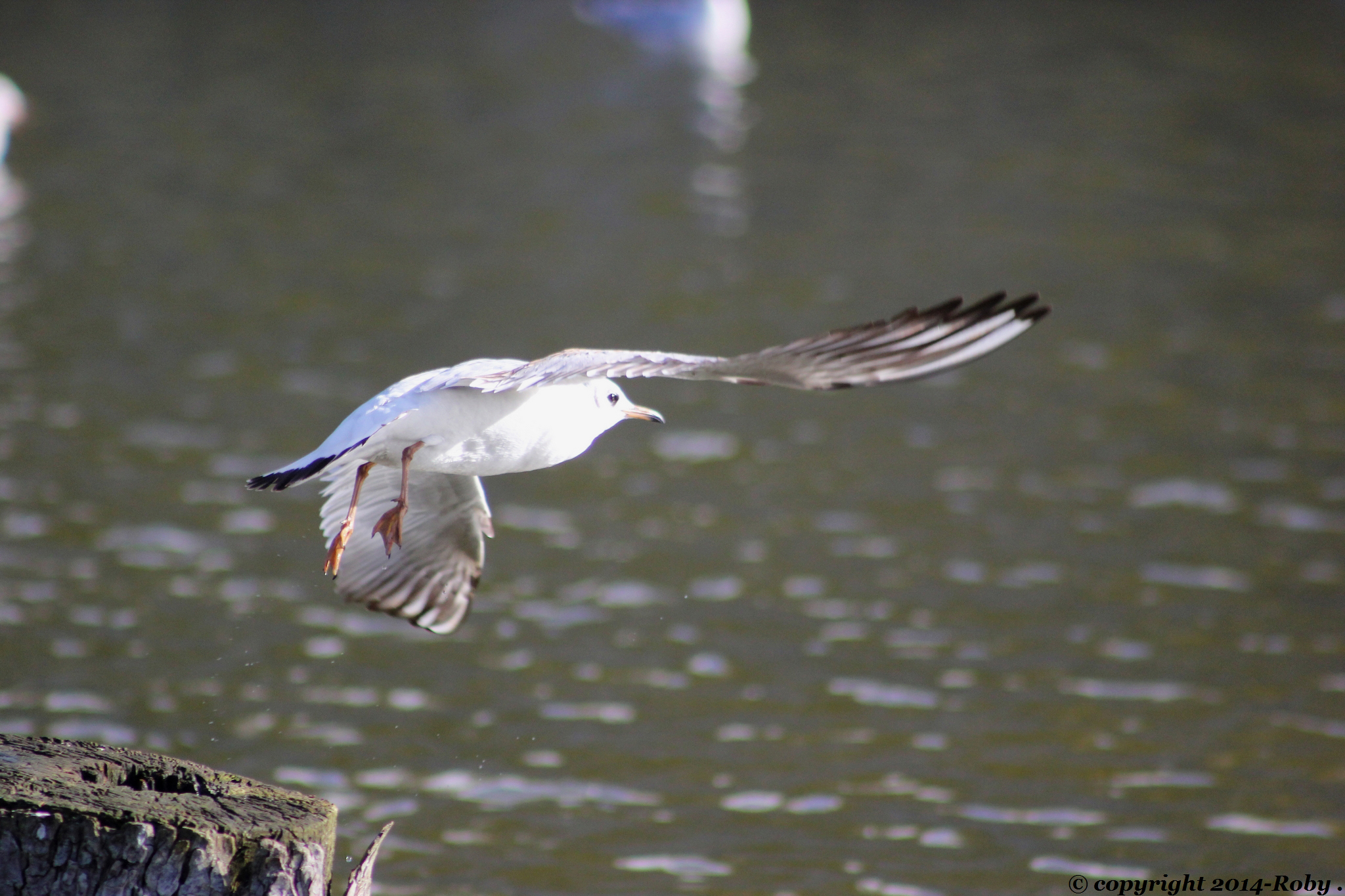 mouette rieuse - photo Roby 2014
