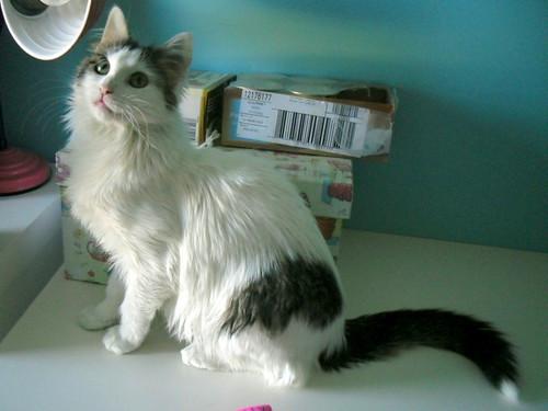 Neus, gata blanca cruce Van Turco pelo largo nacida en Julio´13 en adopción. Valencia. ADOPTADA. 12383642183_458db6235b
