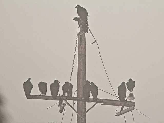 Black Vultures in fog 20140224