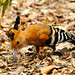 Madagascar Hoopoe (Stephen Woodham)