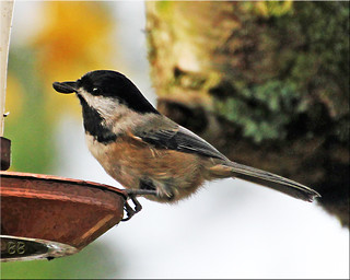 ~ Black Capped Chickadee ~