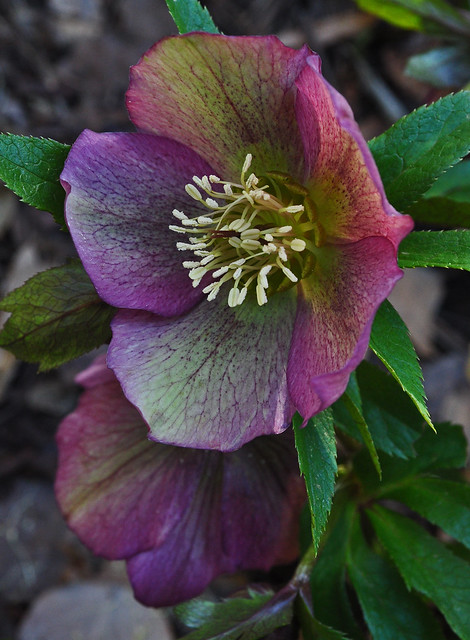 Helleborus (seedlings) (2)
