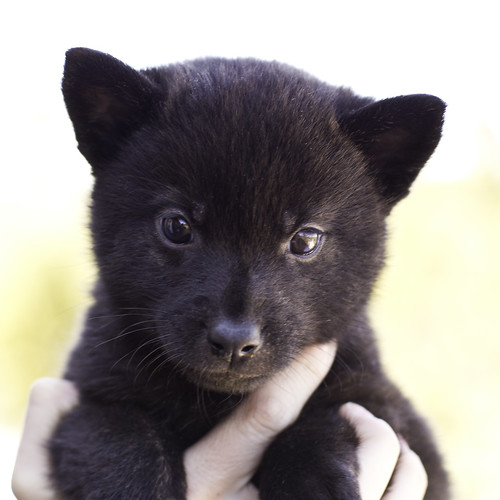 Nami-Litter1-Day40-Puppy1-Female(Kiyomi)-1