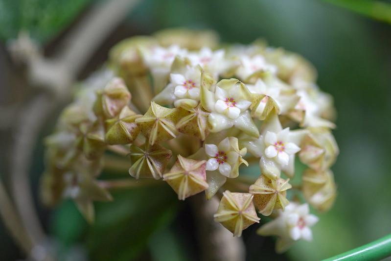 Hoya aff. parasitica Lao 2
