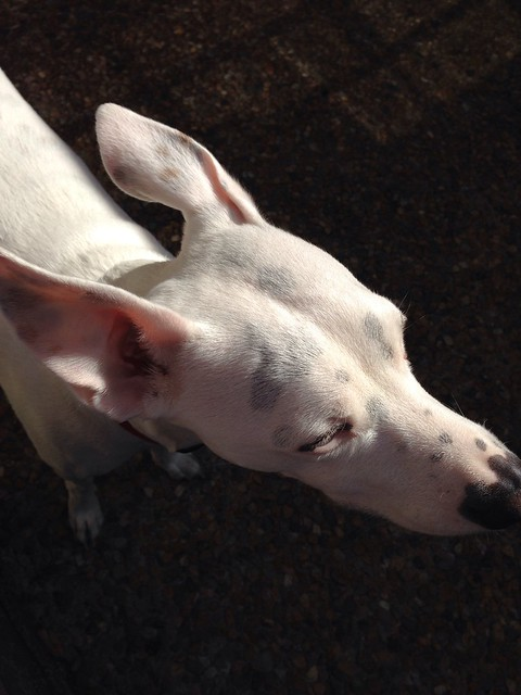 White Dog in Sunshine