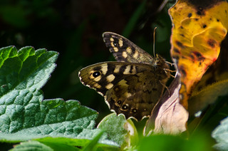 My first Speckled Wood of the year