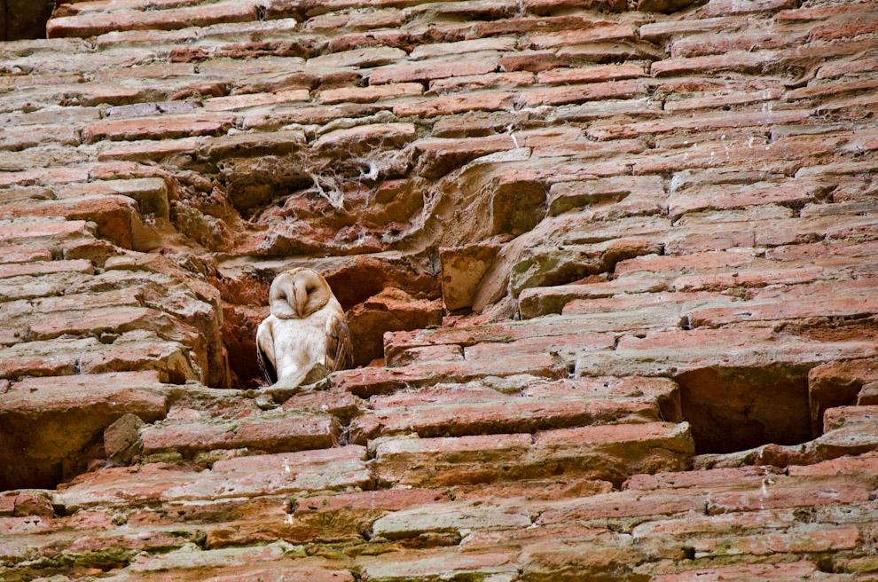 Una lechuza nos observa desde su morada en uno de los huecos de la ruina de Humaitá, en la parte que correspondería al campanario derecho de la ex Iglesia. (Elton Núñez)