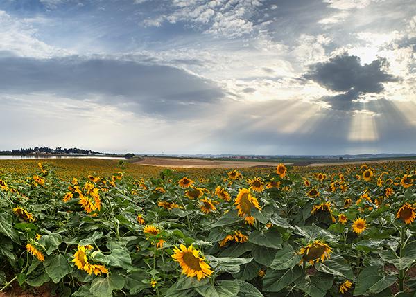 sunflower field, sunset, israel, clouds, yellow, שקיעה, שדה חמניות, קרני אור, פרחים, ישראל