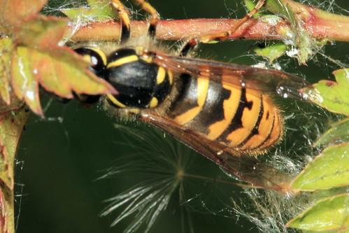 Wasp 28703