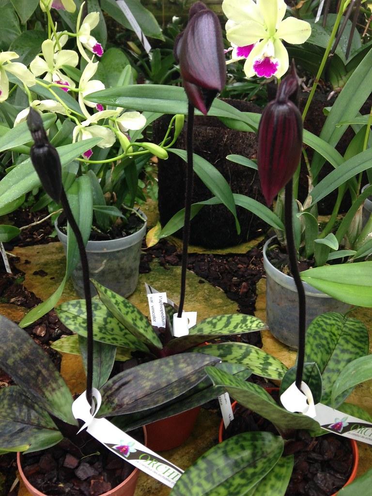 Orchidarium de Prangins 18686895333_bbf145ebe7_b