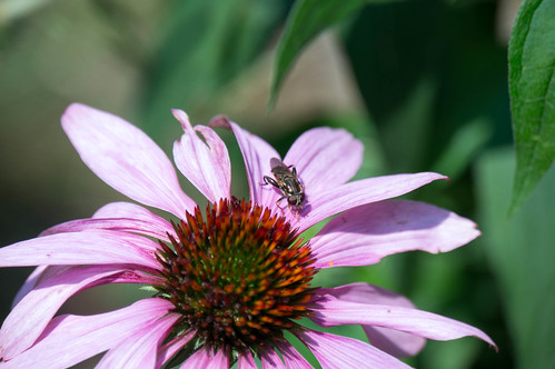 01799 Fly on Purple Coneflower
