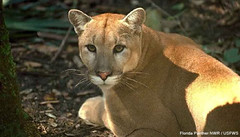 cougar, animal, fauna, cat-like mammal, puma, carnivoran,