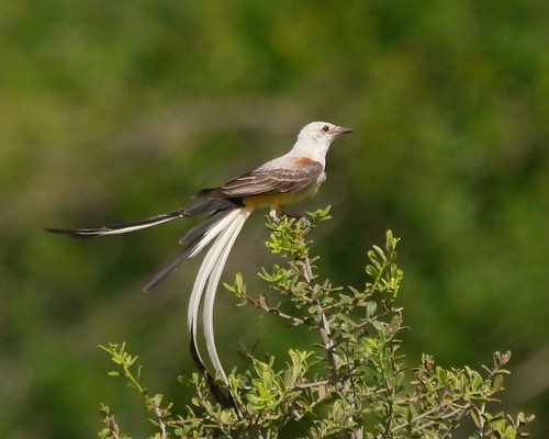 Scissor-tailed Flycatcher - 1