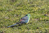Red-rumped Parrot 2015-07-23 (_MG_4406)