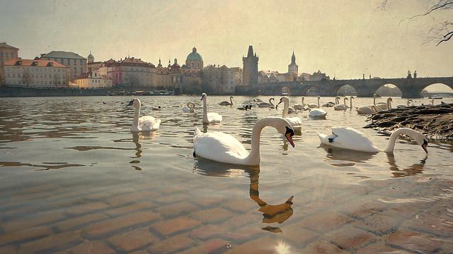 Swans on the river Vltava, Prague, Czech Republic
