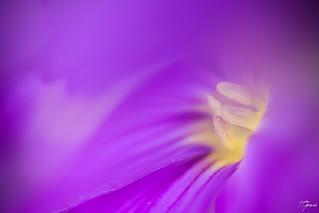 Coeur de violette