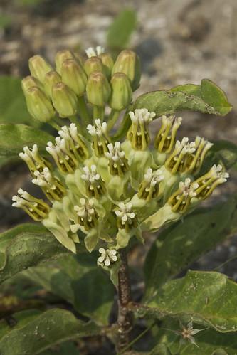 Asclepias oenotheroides - Zizotes Milkweed