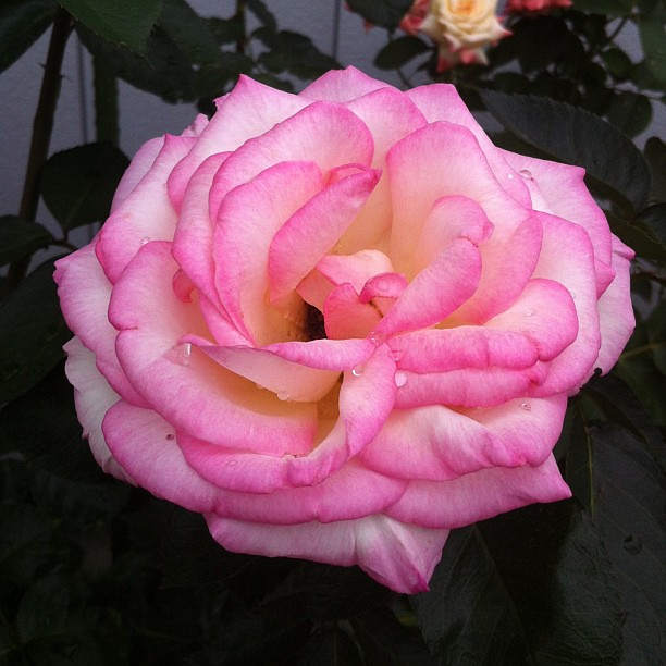 Photo:近所のバラ。プリンセス・ドゥ・モナコ。 グレース・ケリーをイメージしたんだろうね。 By naohisa1971