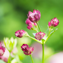 Zeeuws knoopje (Astrantia major)