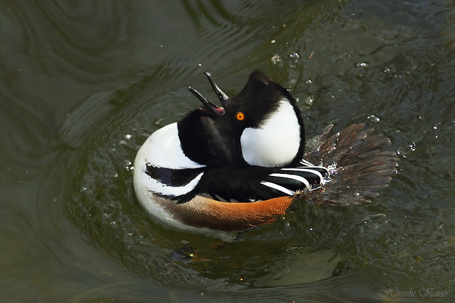 Hooded Merganser 052813-02